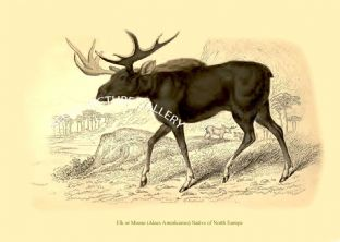 Elk or Moose (Alces Americanus) Native of North Europe